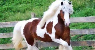 بالصور اجمل حصان في العالم , احلى الخيول فى العالم 4749 12 310x165