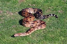 بالصور تفسير حلم الثعابين في البيت , رؤية الثعبان في المنام 2291 7