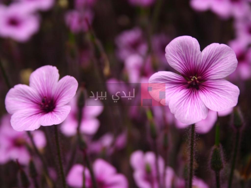 بالصور صور ازهار , احلي صور لازهار وورود جميلة 6490 4
