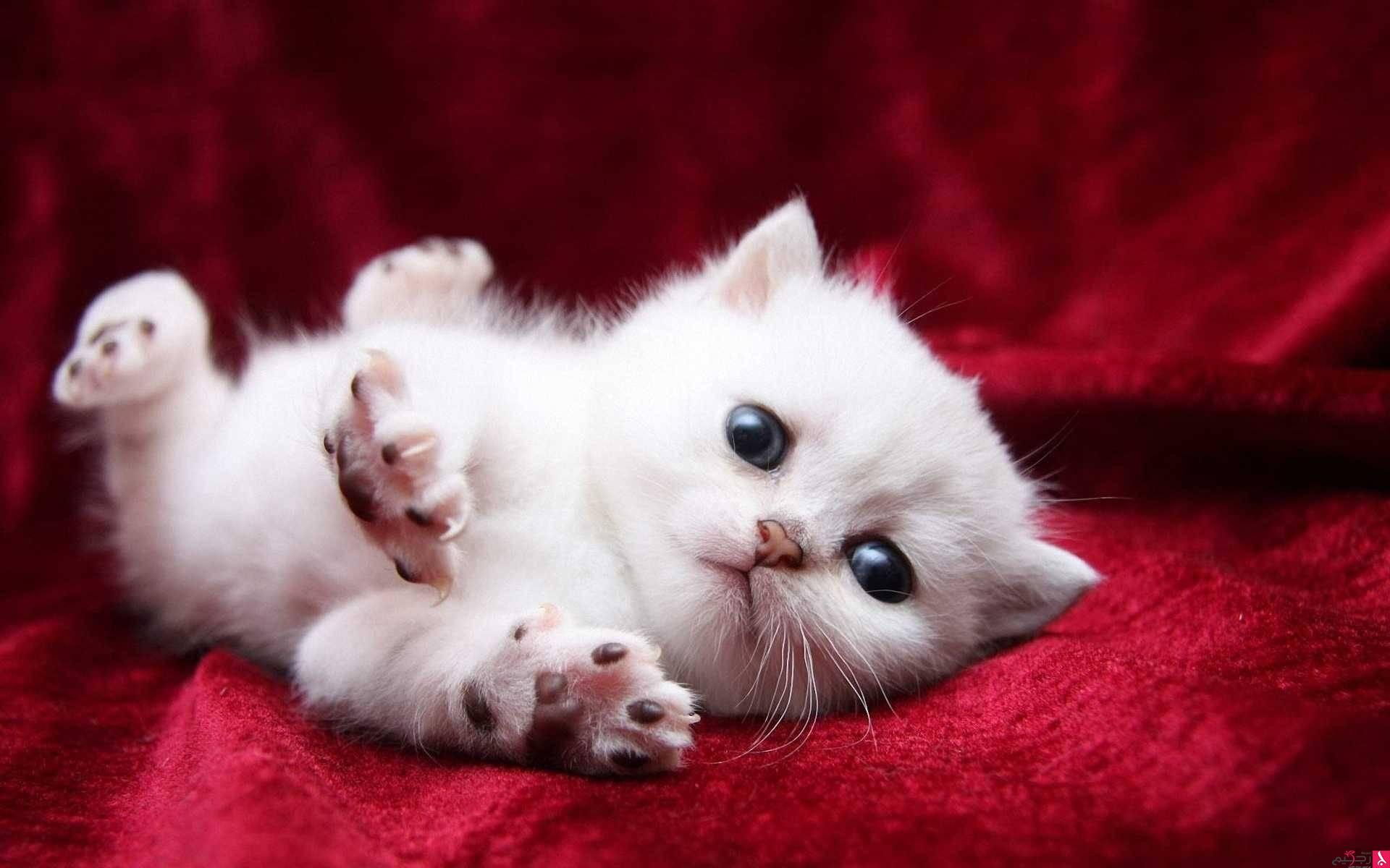 صور اجمل صور قطط , صور لاحلي قطط جميلة