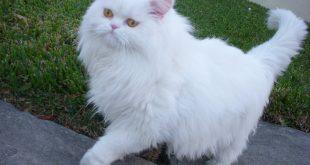 صوره قطط شيرازى , صور الطف قطط شيرازي