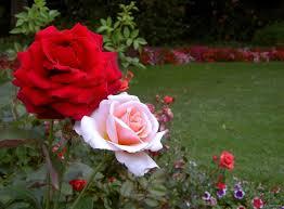 بالصور اجمل صور الورد , صور ورد روعة 2517 4