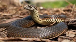 صوره انواع الثعابين , تعرف على الانواع المختلفة من الثعابين
