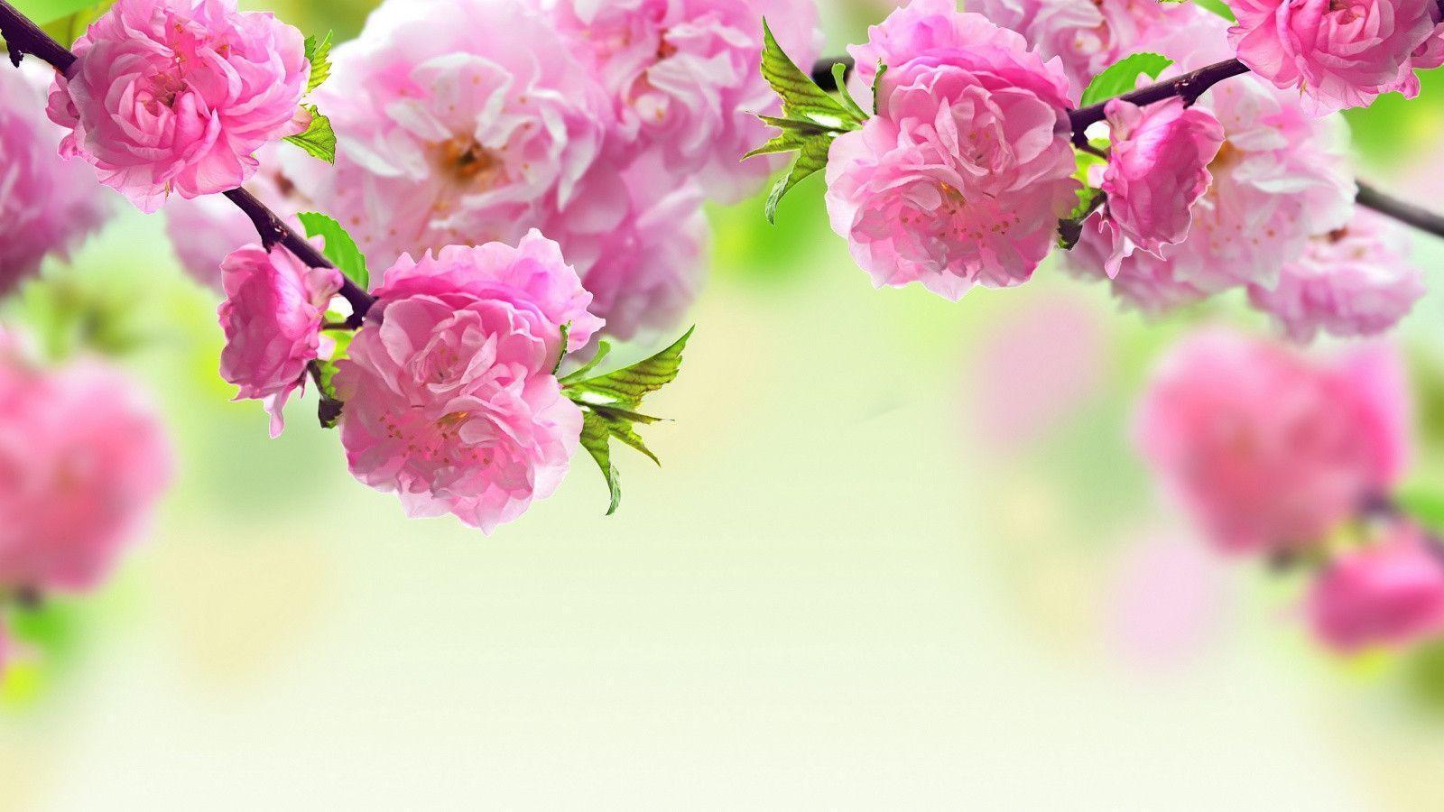 بالصور صور الورد , اجمل ورد ممكن تشوفه 3094 2