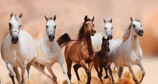 بالصور خيول عربية , صور خيول عربيه اصيله 3189 11 310x165