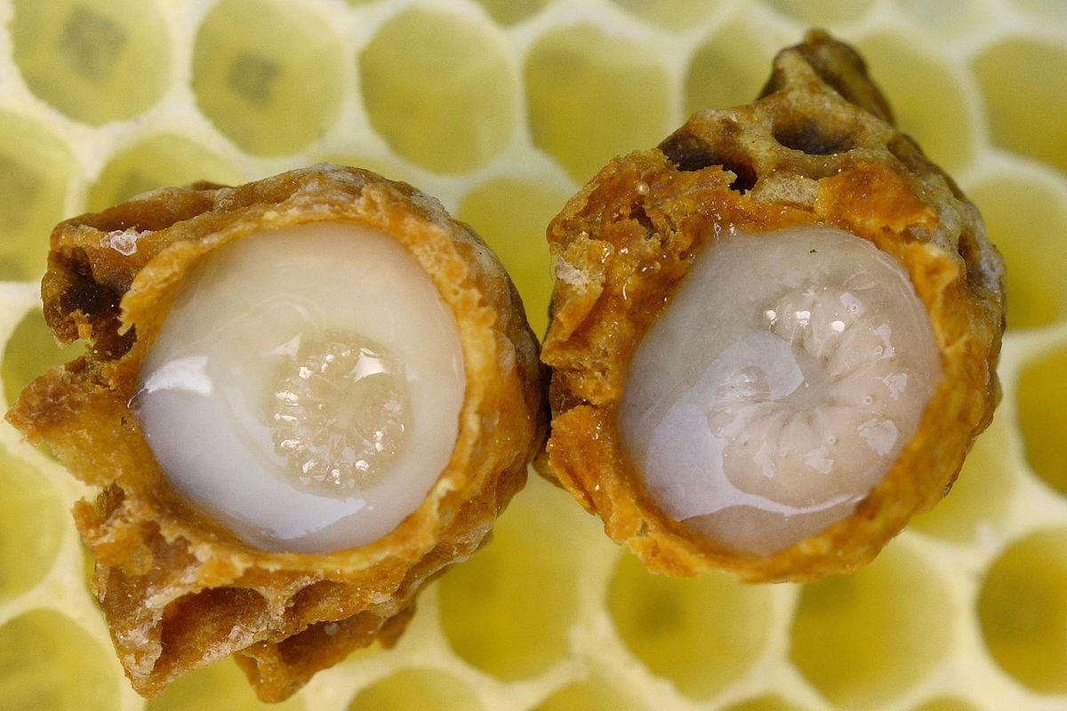 صوره فوائد غذاء ملكات النحل , غذاء ملكات النحل الفوائد والاستخدامات