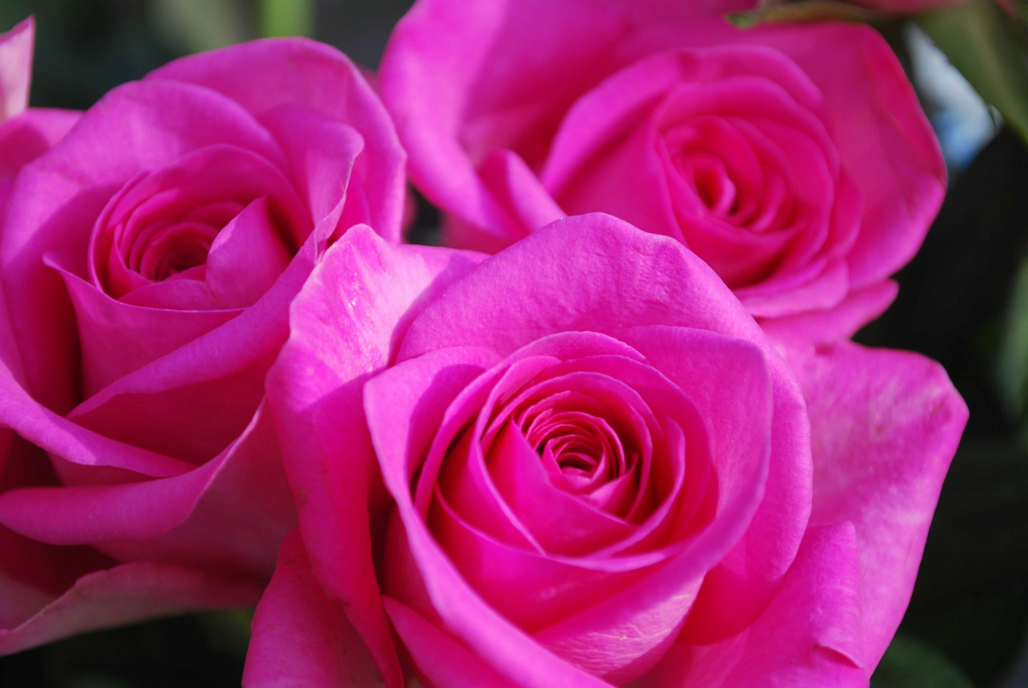 بالصور صور ورد خلفيات , اجمل اشكال وانواع الورود 3582 10