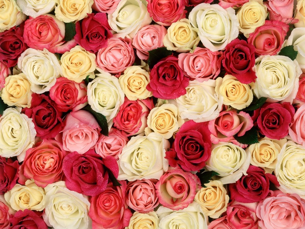 بالصور صور ورد خلفيات , اجمل اشكال وانواع الورود 3582 12