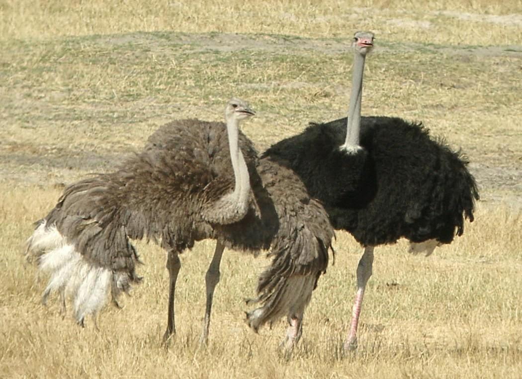 صوره اكبر طائر في العالم , اكبر الطيور حجما على وجه الارض