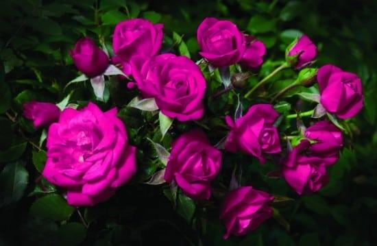 بالصور صور ورود طبيعيه , الورد يجدد الامل 5577 10