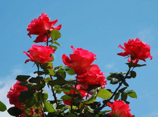 بالصور صور ورود طبيعيه , الورد يجدد الامل 5577 2