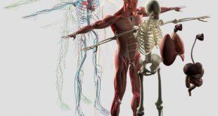 بالصور جسم الانسان بالصور , تكوين جسم الانسان 5661 12 310x165