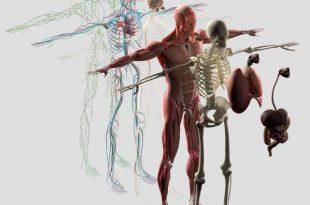 صوره جسم الانسان بالصور , تكوين جسم الانسان
