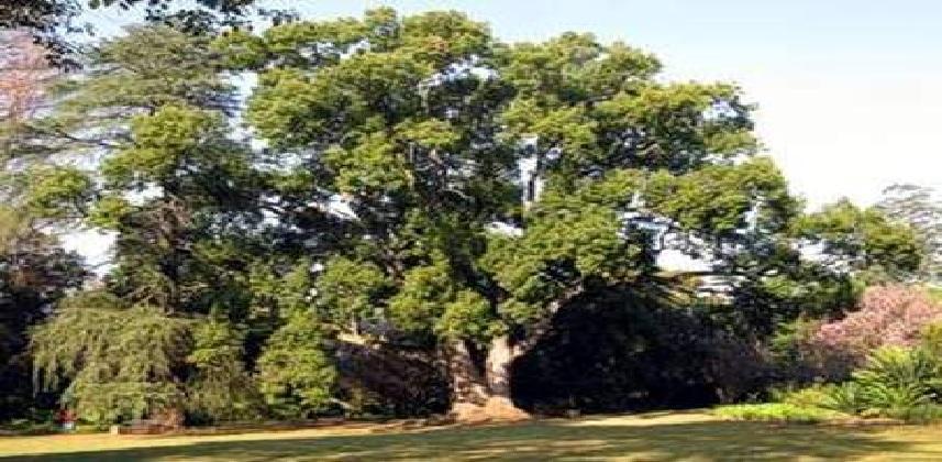 بالصور ما هو الكافور , تعرف على نبات الكافور 705 2
