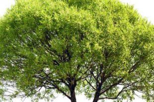 صوره ما هو الكافور , تعرف على نبات الكافور