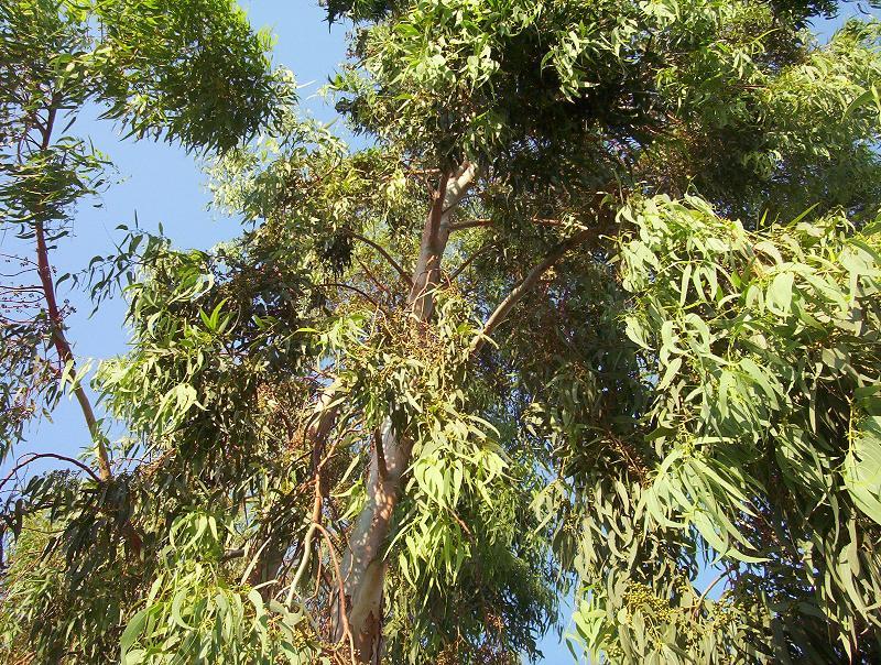 بالصور ما هو الكافور , تعرف على نبات الكافور 705 4