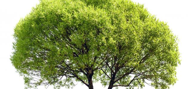 بالصور ما هو الكافور , تعرف على نبات الكافور 705