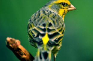 صوره اجمل كناري في العالم , صور جميلة جدا لطائر الكنارية