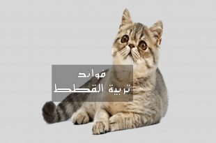 بالصور كيفية تربية القطط , كيفه الاعتناء بالقطط الصغيره 5689 3 310x205