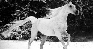 صوره صور حصان , اجمل واشهر حصان عربي اصيل