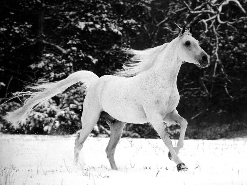 صورة صور حصان , اجمل واشهر حصان عربي اصيل