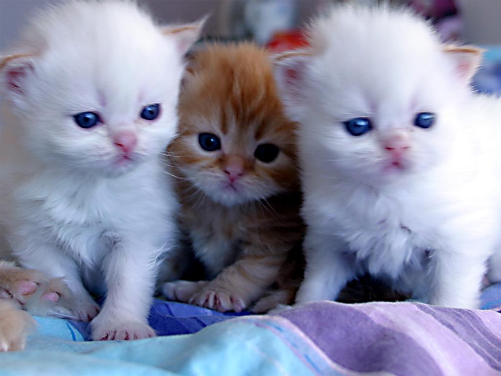 بالصور صور قطط جميلة , القطط الذ حيوان اليف 6135 5