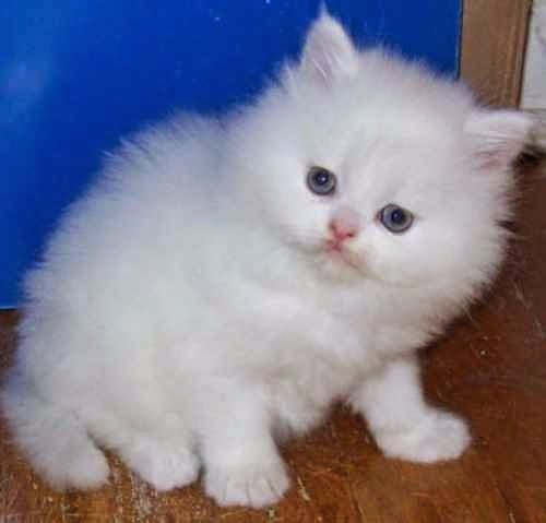 بالصور صور قطط جميلة , القطط الذ حيوان اليف