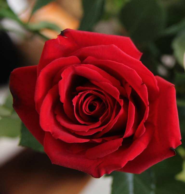 بالصور صور ورد رومانسي , رومنسيات تظهر بالورود 4732 10