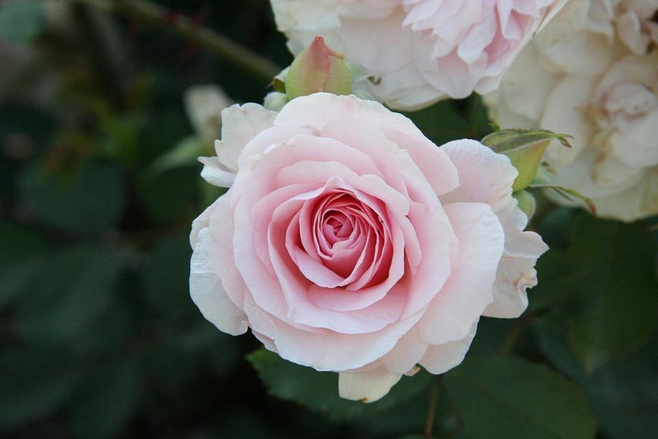 بالصور صور ورد رومانسي , رومنسيات تظهر بالورود 4732 12