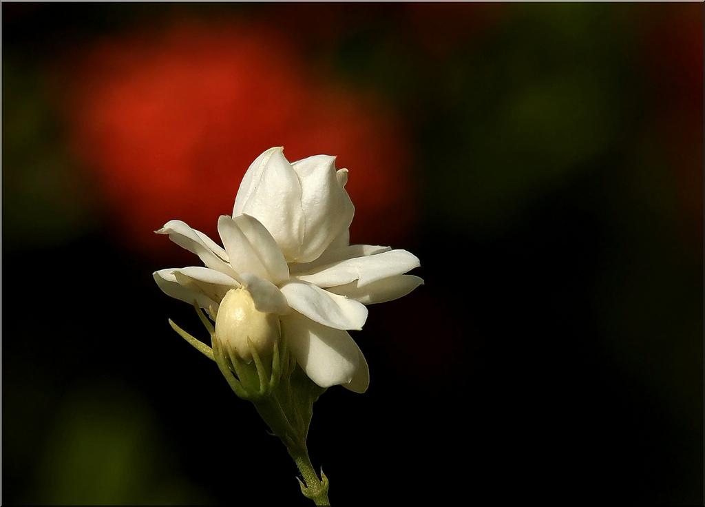 بالصور مساء الفل , اجمل مساء بالفل 5198 10