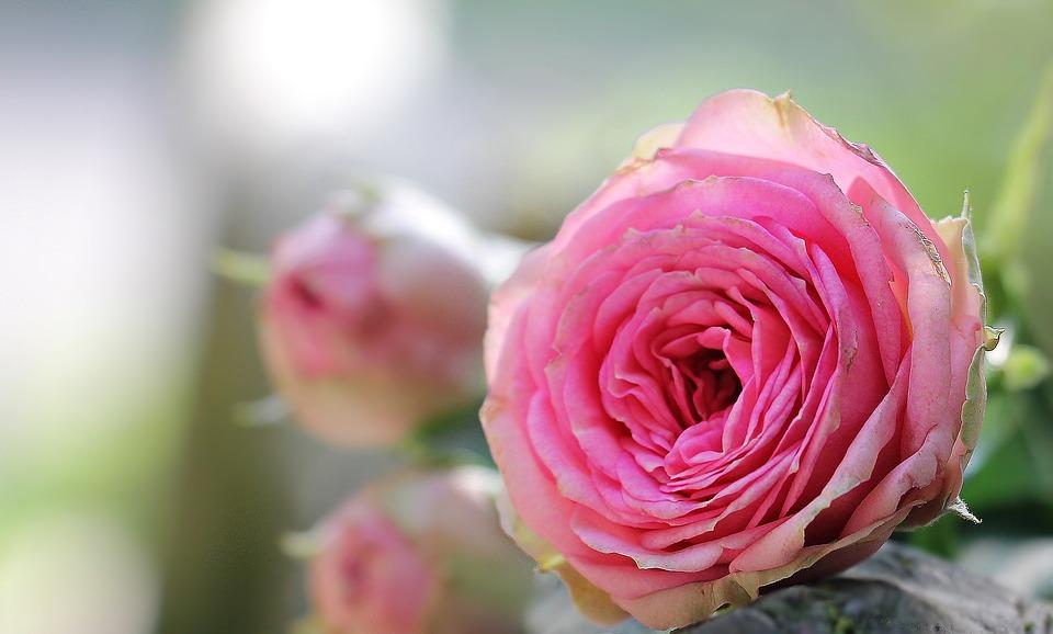 بالصور صور اجمل ورد , الورد وما يقوله فى صوره 6659 4