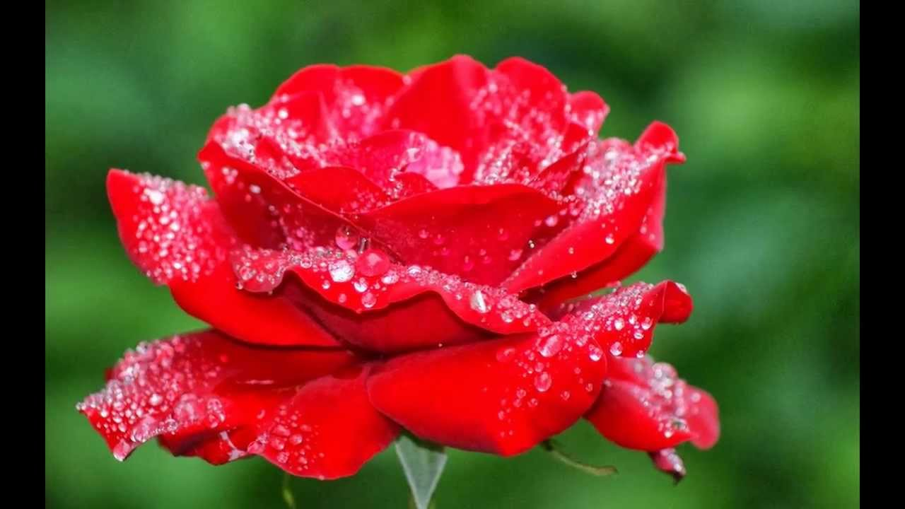 بالصور صور اجمل ورد , الورد وما يقوله فى صوره 6659 5