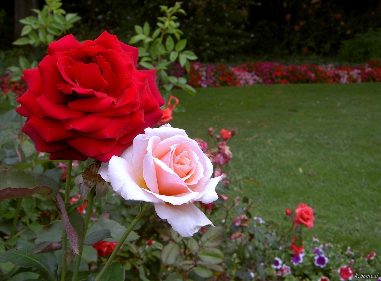 صور صور اجمل ورد , الورد وما يقوله فى صوره