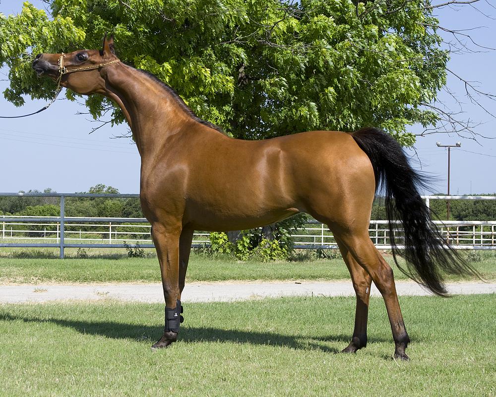 بالصور حصان عربي , الخيل العربيه الاصيله 6696 10