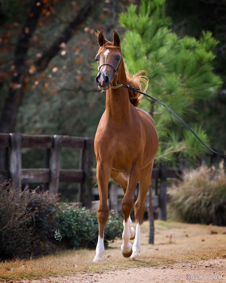 بالصور حصان عربي , الخيل العربيه الاصيله 6696 4