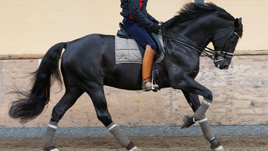 بالصور حصان عربي , الخيل العربيه الاصيله 6696 5
