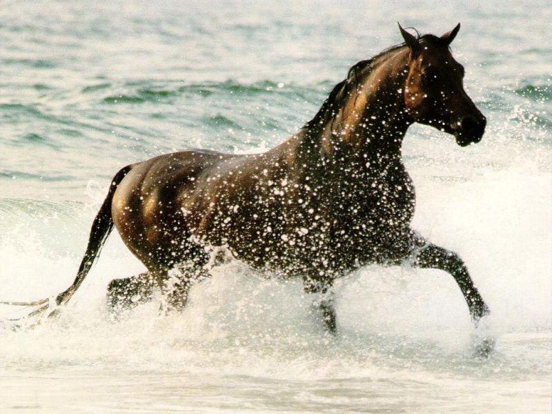 بالصور حصان عربي , الخيل العربيه الاصيله 6696 7