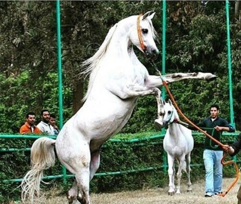 بالصور حصان عربي , الخيل العربيه الاصيله 6696 9