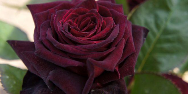 صورة خواطر عن الورد , اروع واعذب وردات