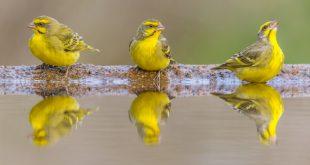 صور كناري , انواع وفصايل العصافير الكناري