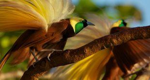 بالصور اجمل طيور العالم , عشره طيور الاجمل في العالم 1045 15 310x165
