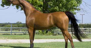صور خيول عربية اصيلة , سلالات الخيول العربيه