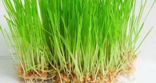 صور عشبة القمح , فوائد عشبة القمح