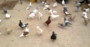 صورة احلى حمام , صور طيور الحمام
