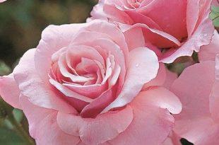 صورة اجمل ورد , احلى صور للزهور
