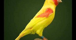 صورة انواع الكناري , اشكال طائر الكناريا