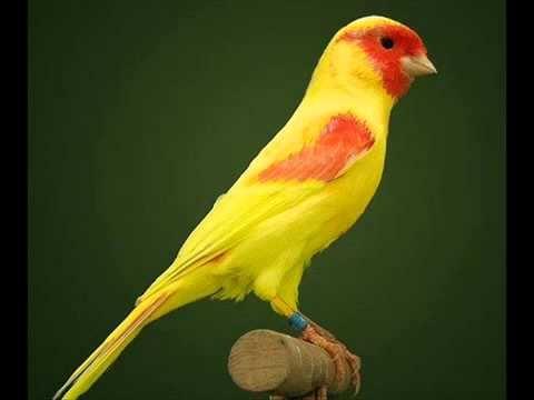 صور انواع الكناري , اشكال طائر الكناريا