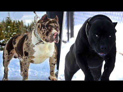 صور اشرس انواع الكلاب , اخطر كلاب العالم