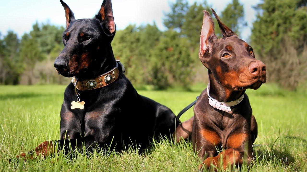 صورة اشرس انواع الكلاب , اخطر كلاب العالم
