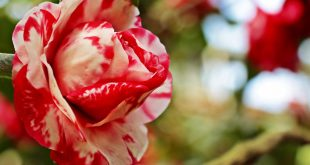 صورة صور ورود مميزة , بهجه الورد على القلوب